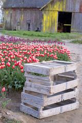Vertical Composition Multiple Colors Tulip Bulb Farm Flowers Bar