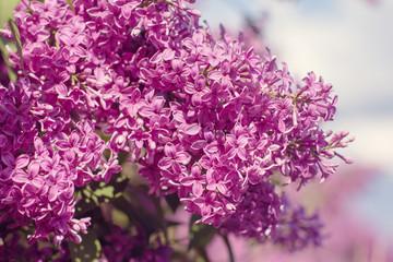 Beautiful purple lilac flowers outdoors