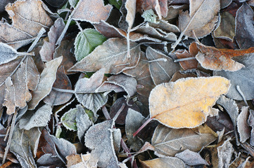 Leaves lay frozen on the ground