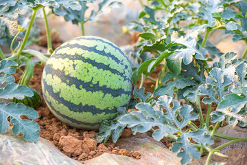 Water melon at farm