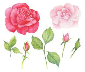 роза,акварель