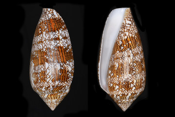 Conus textile (the Textile Cone), a marine gastropod mollusk in the family Conidae, the cone snails, cone shells or cones