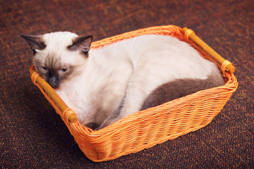 Thai Kitten In Wooden Basket