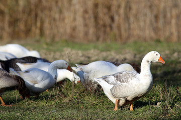Group of white and grey domestic geese