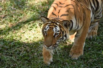 Tiger, Stalking