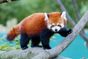Poster Panda Cute red panda