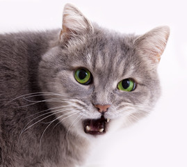 The head of a gray cat with the slightly opened mouth