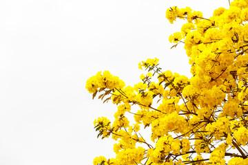 Yellow tabebuia flower blossom Yellow tabebuia flower blossom on