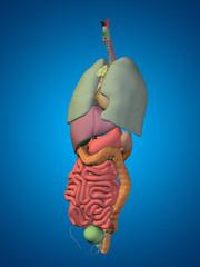 3D human or man internal or thorax organs for anatomy or health