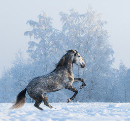 Fototapete - Rearing Andalusian horse on snowfield