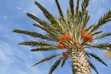 palmier & dattes