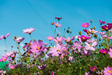cosmos flowers in the garden with blue sky