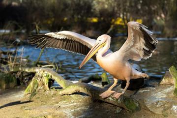 rare Spot-billed pelican, Pelecanus philippensisin