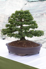 Small tree in a pot