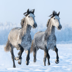 Fototapete - Two galloping Spanish horses close up