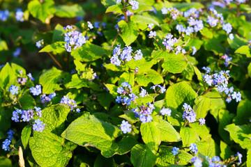 Vergißmeinnicht mit lila Blüten, Vergiß mein nicht  (Myosotis) - Frühlingsgruß