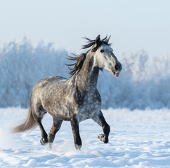 Fototapete - Funny grey horse puts out tongue