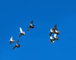 Tamed pigeons flying free in the vivid blue, clear skies