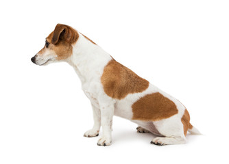 Cute Dog  Jack Russell terrier sitting sideways in profile looking to the side. Perfect representative of the breed proportions. White background