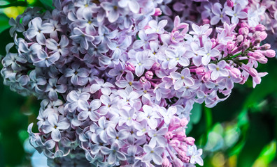 flowering syringa lilac