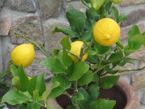 Limone nano