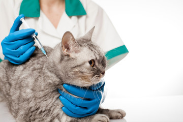 Veterinary surgeon is giving the vaccine to the cat. Vaccination. Scottish straight cat