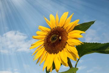 Sonnenblume mit Sonnenstrahlen