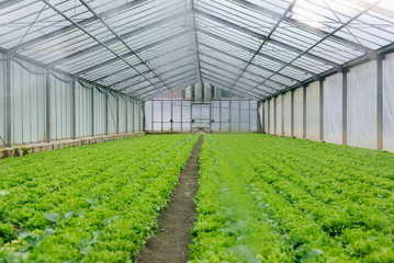 Vegetables in a greenhouse