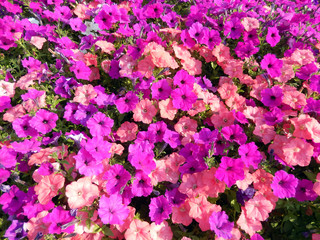 Spring flower bed with hot pink, red and purple petunias flowering