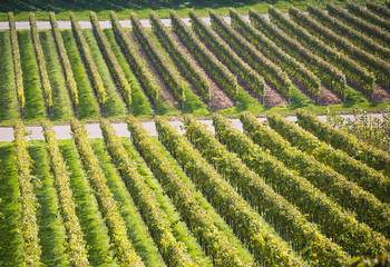 Weinberg in grün im Herbst, Monokultur, Landwirtschaft