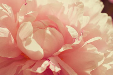 Tender pink peony. Small depth of field
