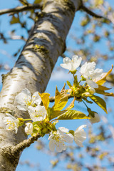 Cherry flowers and the first leaves