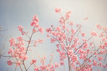 Vintage fillter of Sakura cherry blossom