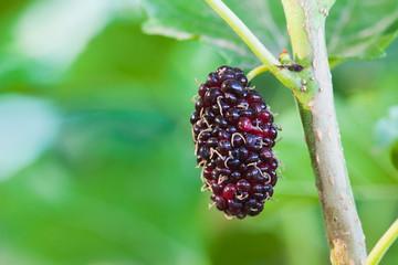 black ripe mulberry close-up