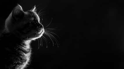 portrait marble tabby Scottish straight kitten . Black and white