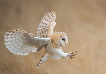 Photo sur Aluminium Chouette Barn owl in flight before attack, clean background, Czech Republic