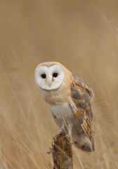 Wall Mural - Barn owl sitting on perch with clean background, Czech Republic