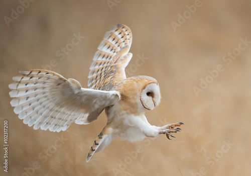 Wall mural Barn owl in flight before attack, clean background, Czech Republic