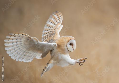 Fototapete Barn owl in flight before attack, clean background, Czech Republic