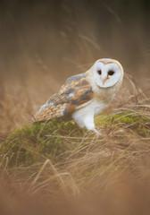 Fototapete - Barn owl sitting in the mossy grass, clean background, Czech Republic