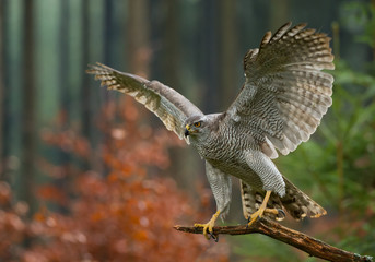 Northern goshawk perching, open wings, with colorfull forest background, Czech republic