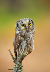 Boreal owl perching, clean green-yellow background, Czech Republic