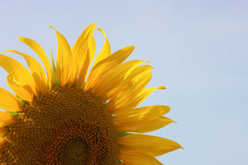 Sunflower in garden and sky