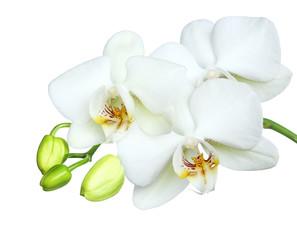brautiful white orchidea on white background.