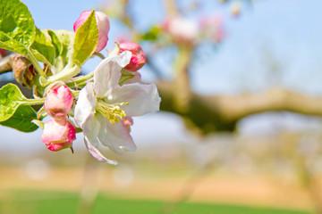Wall Mural - Apfelblüte im Frühjahr
