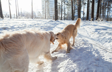 two golden retriever dogs playing outdoors in winter. Clothes for dogs.