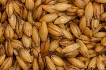 Barley grains close