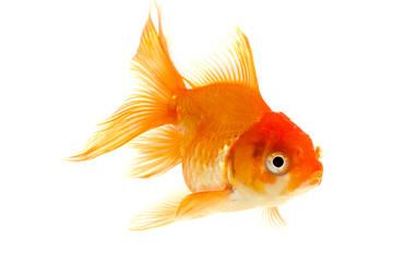 goldfish isolated on white background.
