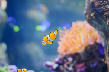 Clown Anemonefish underwater photo of tropical fish