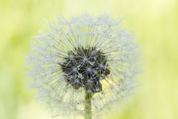 The blossoming blowball growing on a summer meadow.